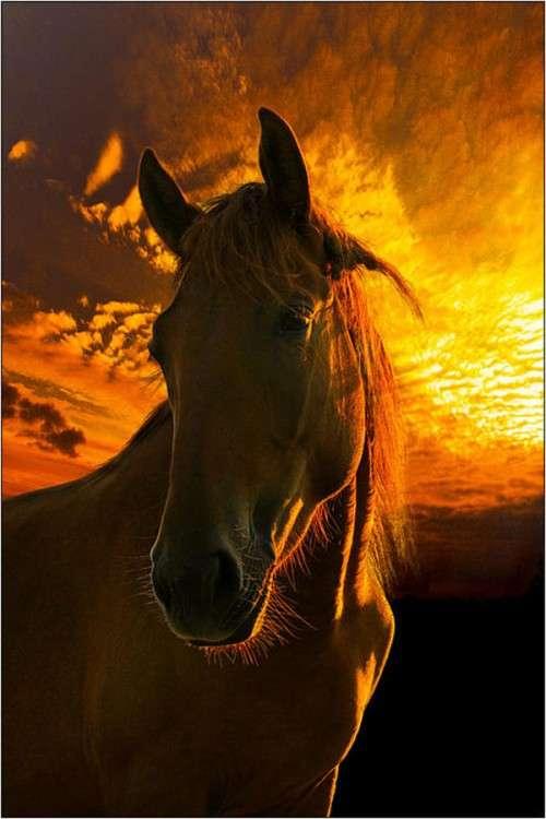 اروع واجمل الخيول في صور . خيول عربية horses11.jpg