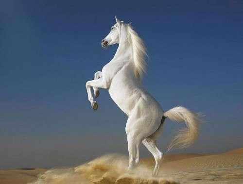 اروع واجمل الخيول في صور . خيول عربية horses12.jpg